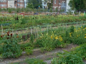 crop-rows-at-Hawthorne-Ave-Urban-Farm-1024x768
